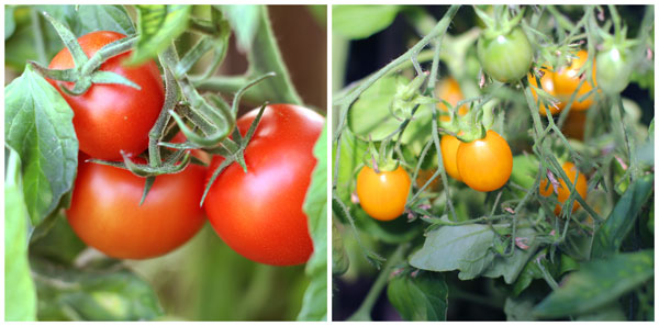 Tomatoes-Diptych